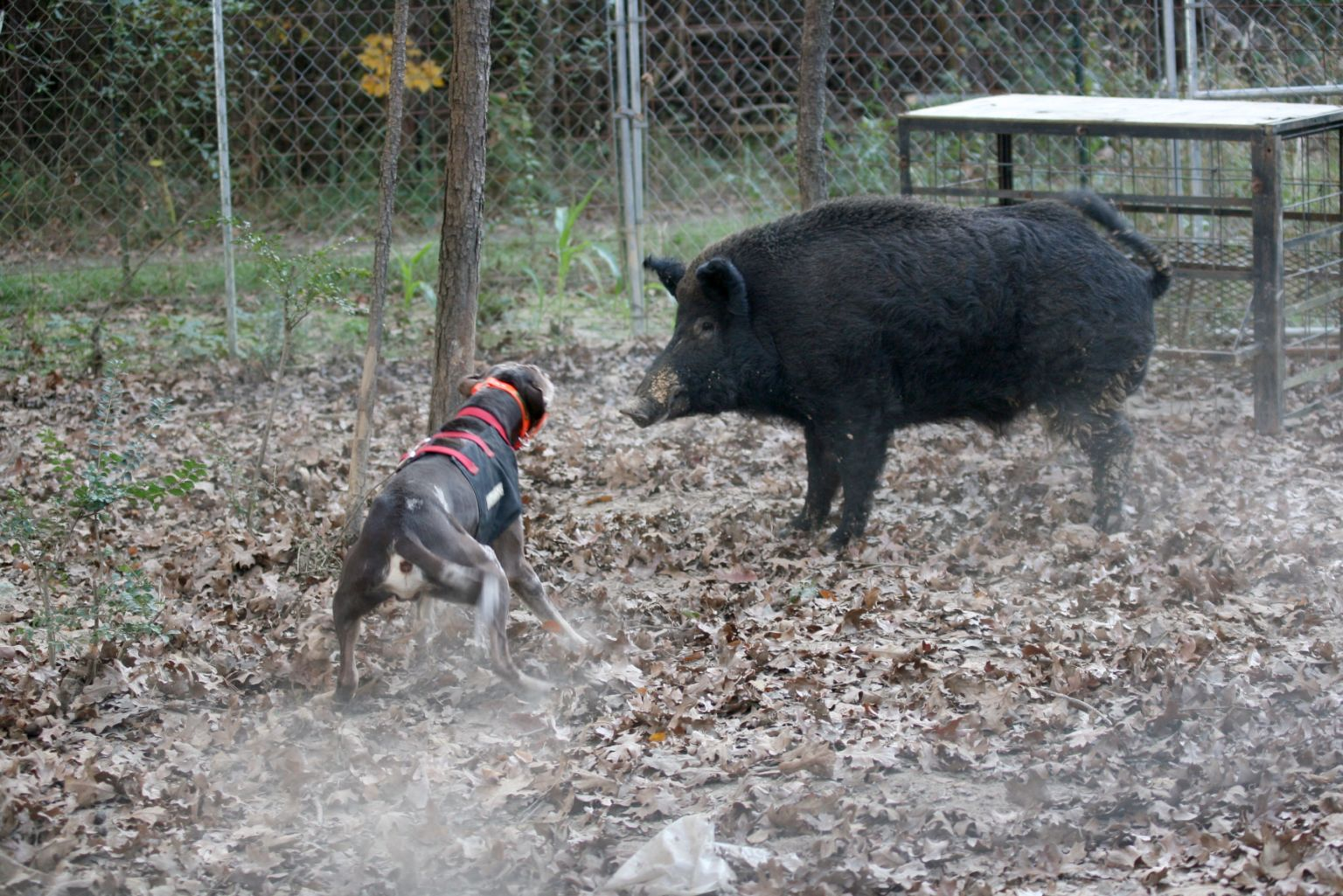 Ranger baying Pee Willy the hog at J Cross Catahoulas, November 2009–Image © 2009 Sandy Yorston.