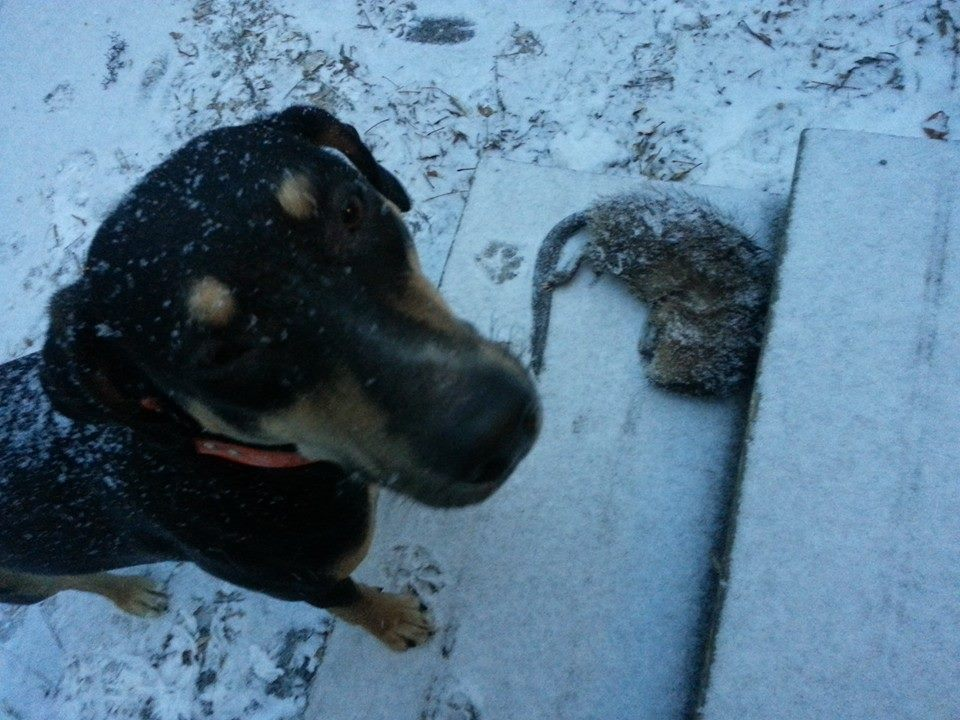 Halo and a muskrat she found. Ranger dispatched it and she returned home with the 'rat. 9 months old.